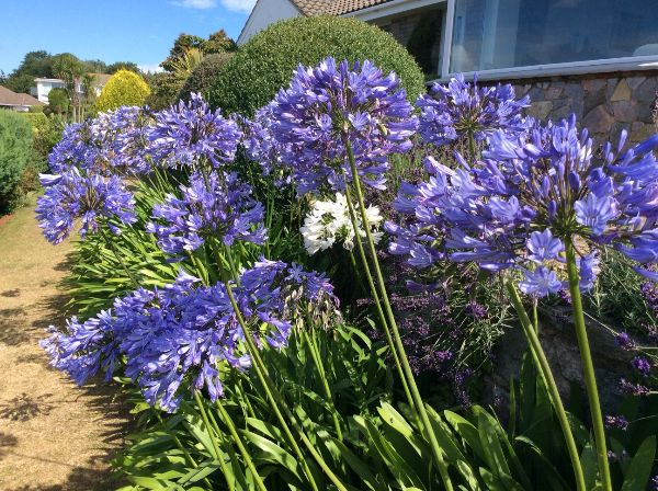 Richard Perry - Agapanthus Torquay