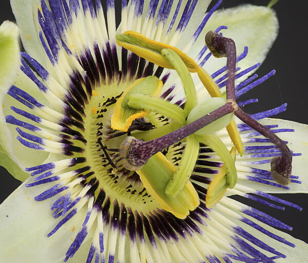 Rod Armstrong - Passion Flower - 1st