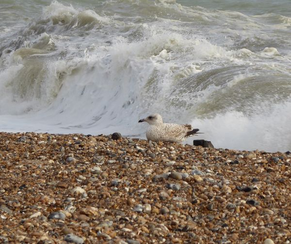 Seagull at Worthing