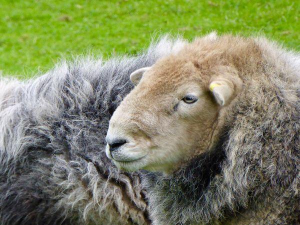 Sheep at Woolbeding