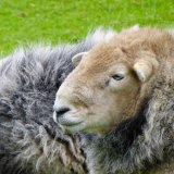 Sheep at Woolbeding