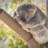 Sleeping Koala, San Diego Zoo