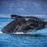 Southern Right Whale Breaching