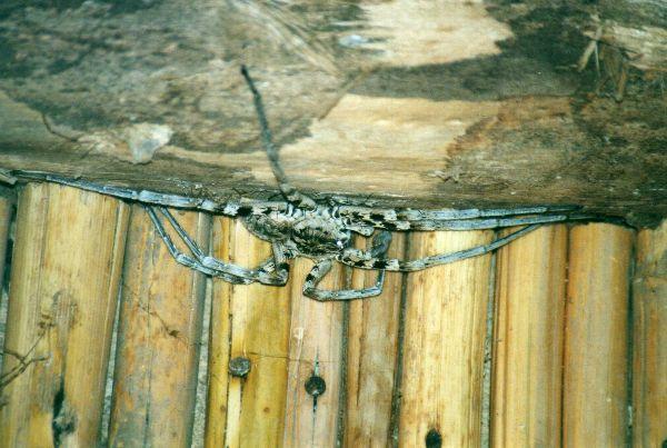 Spider at Kaleta