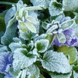 frosted pansies