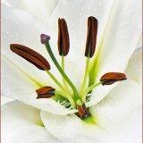 Tree Lily