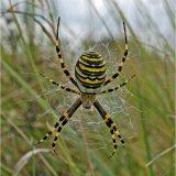 Signature or Wasp Spider