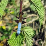 Blue Bodied Chaser