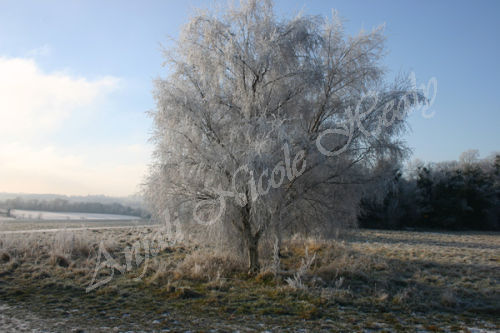 Frosted Birch on Epsom & Walton Downs
