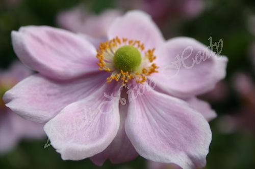 Full Glory Anemone