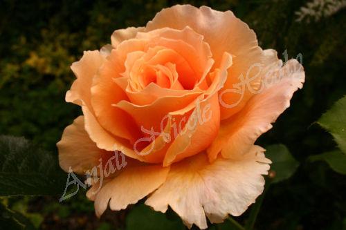 Peach Rose in The Garden