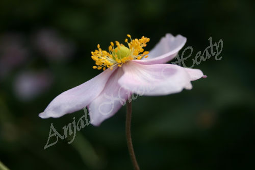 Polesden Lacey Anemone