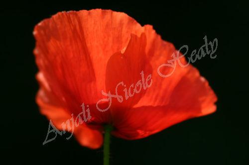 Poppy in Umbria