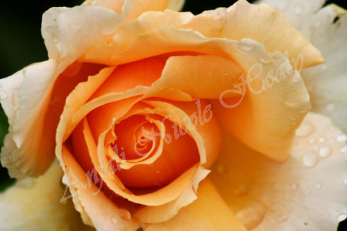 Raindrops on Peach Rose