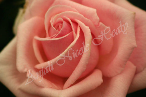 Rose in Pink