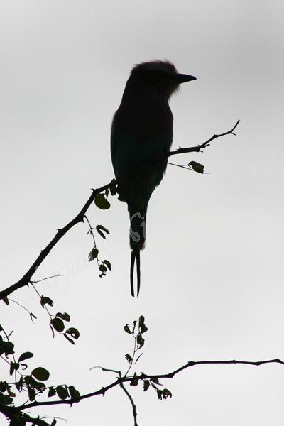 Bird Sillouette