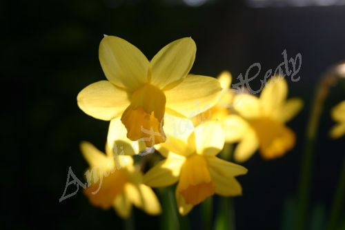 Daffodils in the Spotlight