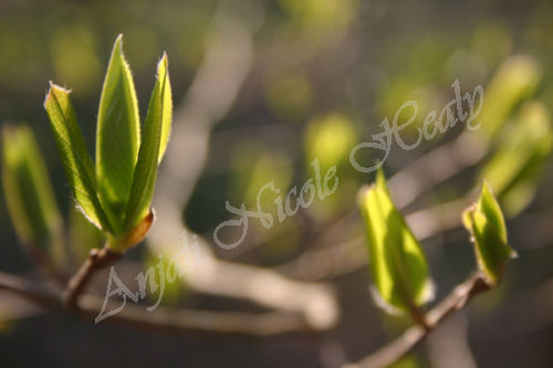 Darling Buds of Spring