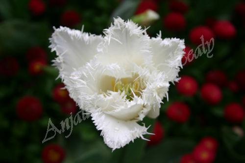 Fluffy White Tulip