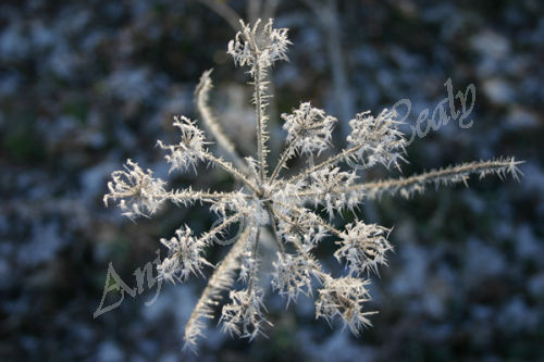Frosted Star