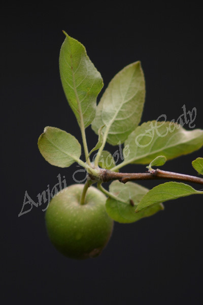 Little Apple Bud
