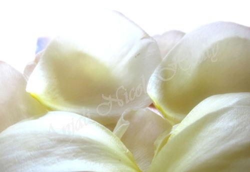 Delicate Rose Petals
