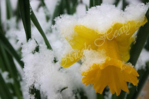 Snow on Daff