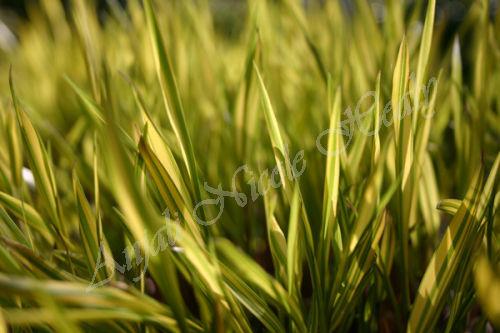 Stripey Grass