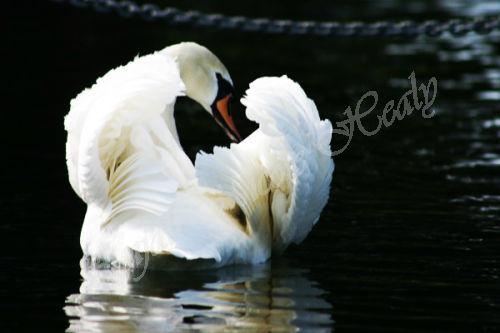 Swan Curves