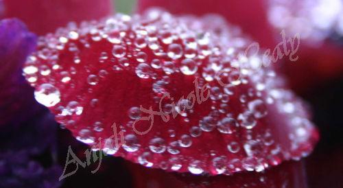 Violet Dew Drops