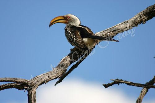 Yellow Hornbill Above a Cloud