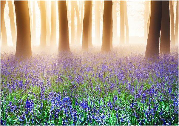 Bluebells in Mist