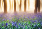 Bluebells in Mist