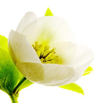 B_04 Lenten Rose