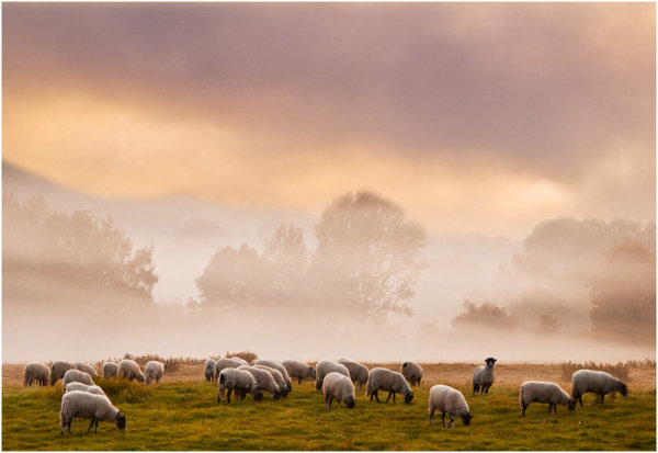 Sheep in the Mist