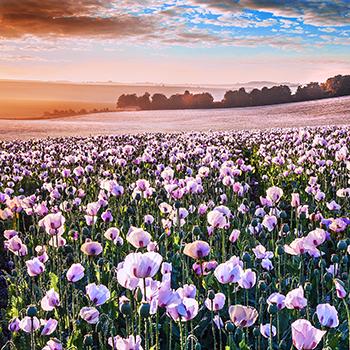 WL_24 Opium Fields