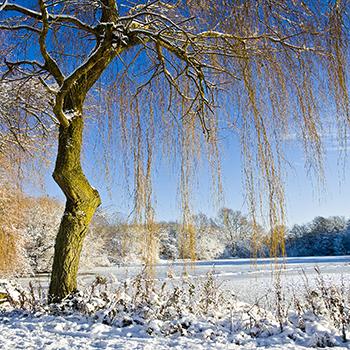 WL_28 Winter Willow