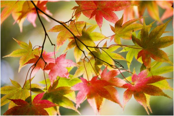 Westonbirt Leaves 15