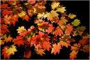 Westonbirt Leaves 8