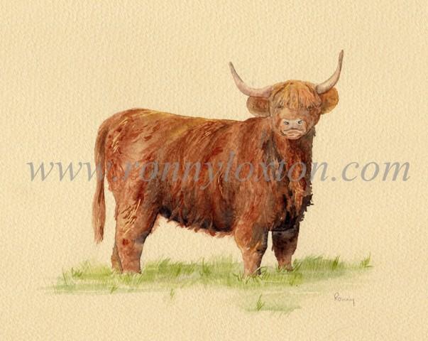 Lone Highland Cattle