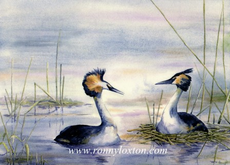 PCL2 Crested Grebe
