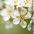 St Lucie Cherry Blossom