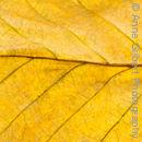 Golden Beech