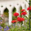 Maltese Cross Flowers