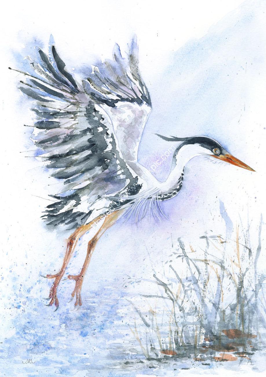 Breaking into Flight - Grey  Heron