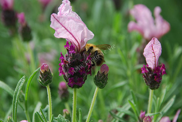 Beesy Lavender