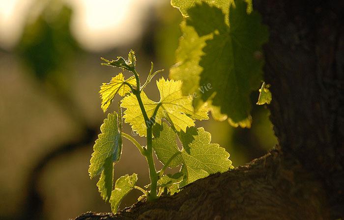 Virgin Vine