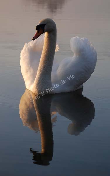 Swan Reflect