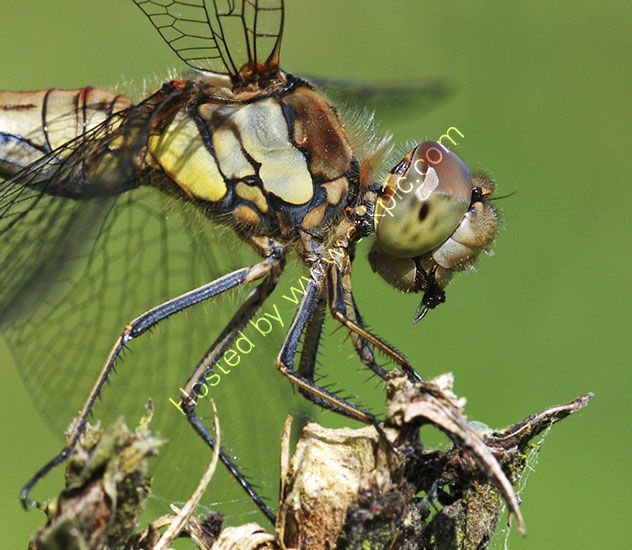 Common Darter with Prey