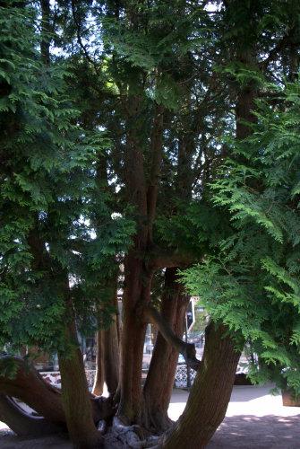 Many trunked tree